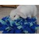 Čmuchací kobereček modrozelený